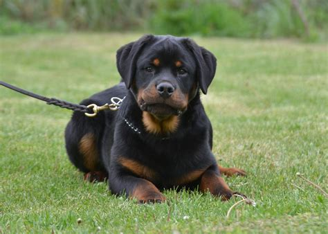 rottweiler puppies michael owen rottweiler puppy for sale puppy
