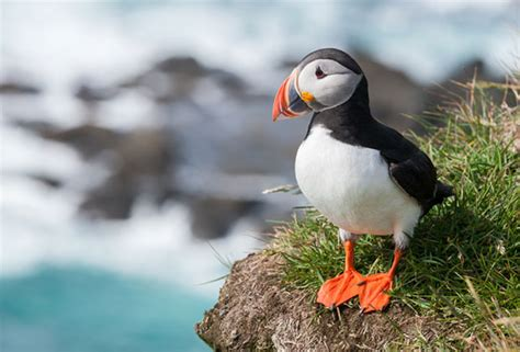 kiehl s supports atlantic puffins dave lackie