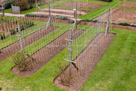 staking vegetable or flower vine peas trellising plant flower stock photography