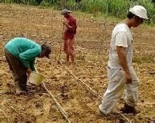 Benih Jagung Manis Malaysia anim agro technology alat menanam jagung zulfa