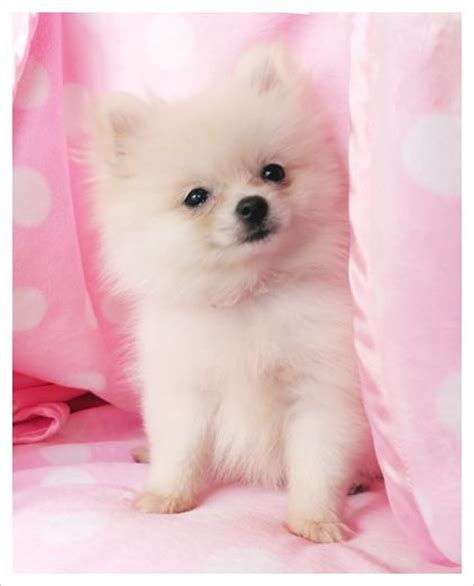 white pomeranian puppies for sale australia best 25 pomsky for sale ideas on pomsky for sale pomsky puppies for