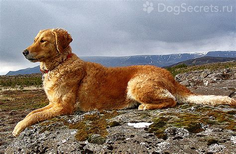 golden retriever character golden retriever breed description character standard and puppies photo