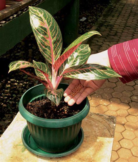 tanaman hias  budidaya tanaman hias  behasil