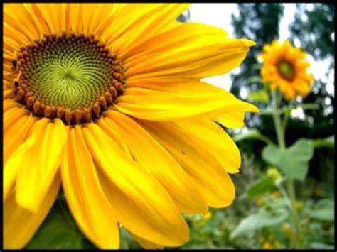 ci vuole un fiore lyrics ci vuole un fiore sergio endrigo and