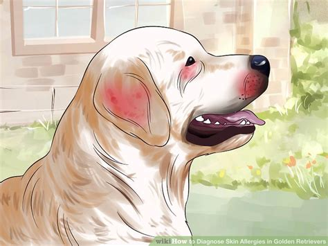 golden retriever skin how to diagnose skin allergies in golden retrievers 10 steps