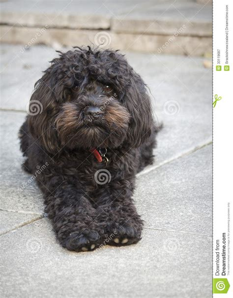 curly hair puppy small black royalty free stock photography image 33119687