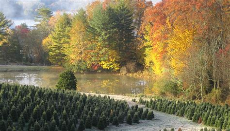 the farm tom sawyer christmas tree farm