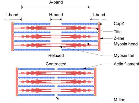 filament diagram sliding filament theory diagram 31 wiring diagram images