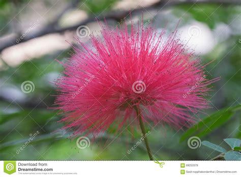 foto mimosa fiore fiore rosa lanuginoso della mimosa fotografia stock