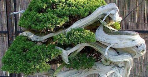 Tanaman Hias Artifisial Bonsai Bentuk Huruf Home 1 Set mengenal bonsai langka untuk anda pencinta tanaman centralbonsai berbagi ilmu tanaman