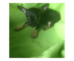 pug puppies for sale in boise idaho akc reg males and females fawn and black pug puppies for sale animals boise