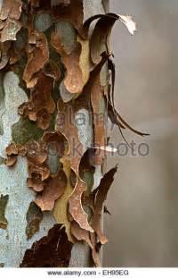 Sycamore Tree Shedding Bark by Bark Sycamore Tree Stock Photos Bark Sycamore Tree Stock Images Alamy