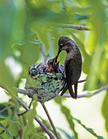 hummingbird nests on pinterest hummingbirds nests and anna
