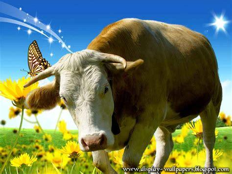 Cowhide Wallpaper Cow Wallpapers For Desktop Wallpapersafari