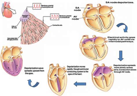 Fisiologi Manusia Sherwood Warna Egc mekanisme potensial aksi pada sel kontraktil jantung
