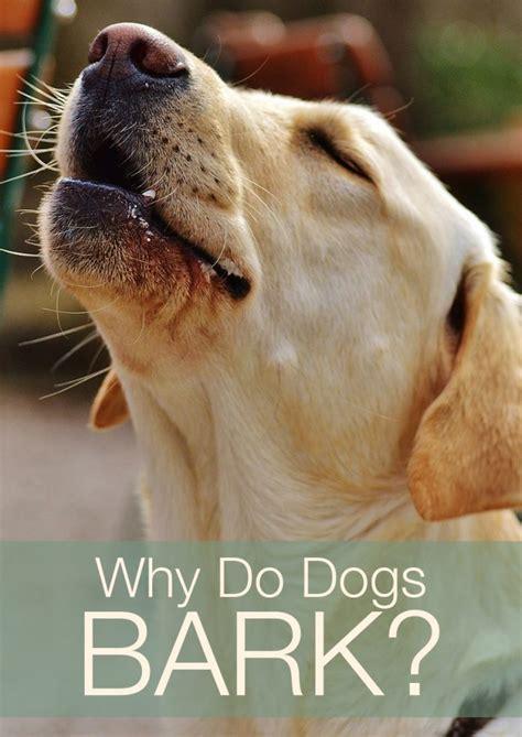 why do dogs why do dogs bark the labrador site