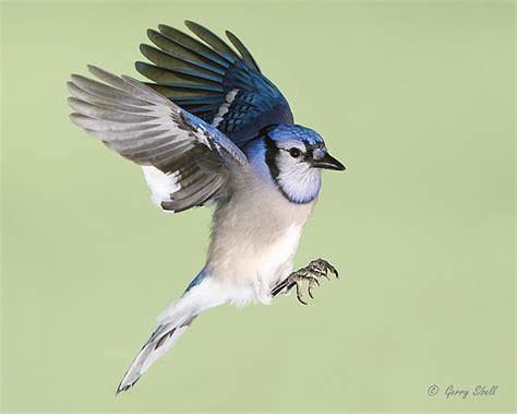 blue jay flying birds gt gt blue jays including in