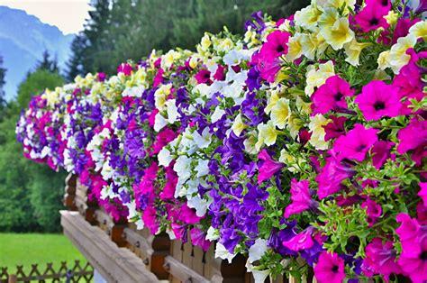 balkonpflanzen sonnig blumenkasten bepflanzen 187 pflanzen f 252 r einen sonnigen standort