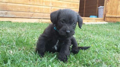 jackapoo puppies beautiful jackapoo puppies leek staffordshire pets4homes