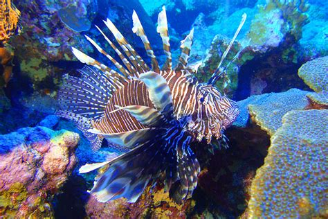Volunteers Remove Lionfish From Flower Garden Banks Flower Gardens National Marine Sanctuary