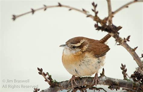 carolina wren show me nature photography