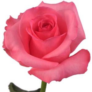 Fresh Rose Petals Eliza Pink Rose