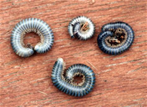 small worms in house that curl up small black worms in carpet carpet vidalondon