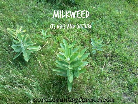 what is a planter plant profile milkweed country farmer
