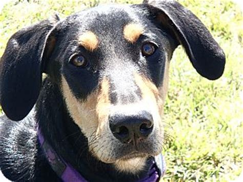 doberman and golden retriever mix noma adopted wilkesboro nc doberman pinscher golden retriever mix