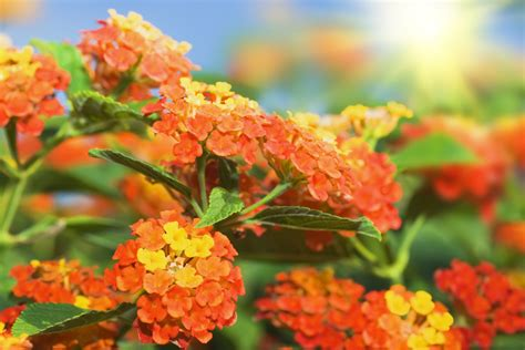 is lantana poisonous to dogs lantana pet poison helpline