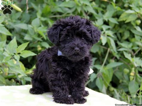 black yorkies for sale yorkie poo puppies for sale zoe fans baby animals yorkie
