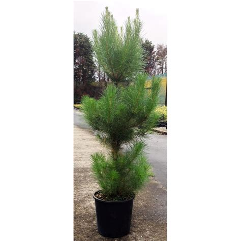 plant christmas tree or pinus radiata 8 5ltr pot sku