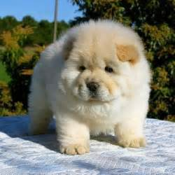fluffy emergency chow chow puppies are on the