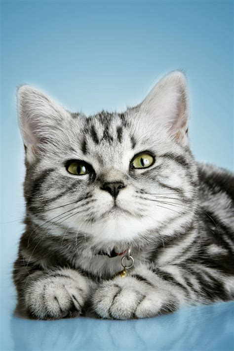 shorthair cat image gallery shorthair cats