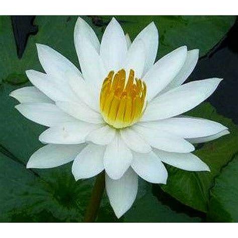 Harga Bibit Bunga Teratai benih white water bloomer 2 biji non retail