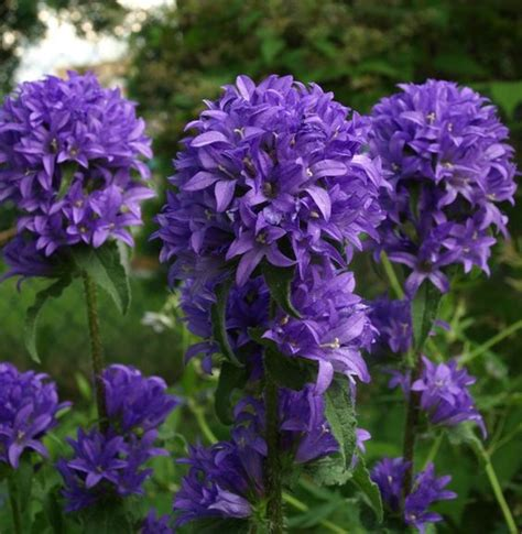 Purple Garden Flowers Identification Perennials Purple Flowers And Purple Perennials On