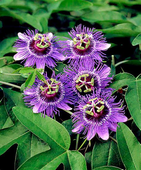 fiori passiflora passiflora bakker