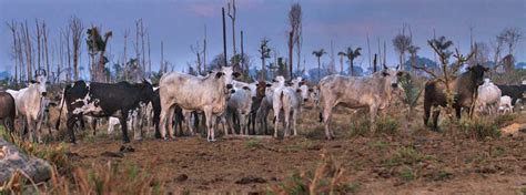 film shines light  cattle industry link  amazon