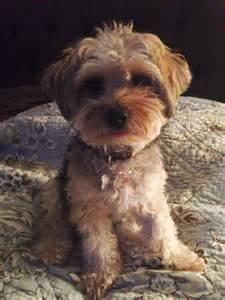 how to cut a yorkie poo s hair 17 best images about yorkie poos on pinterest olivia d