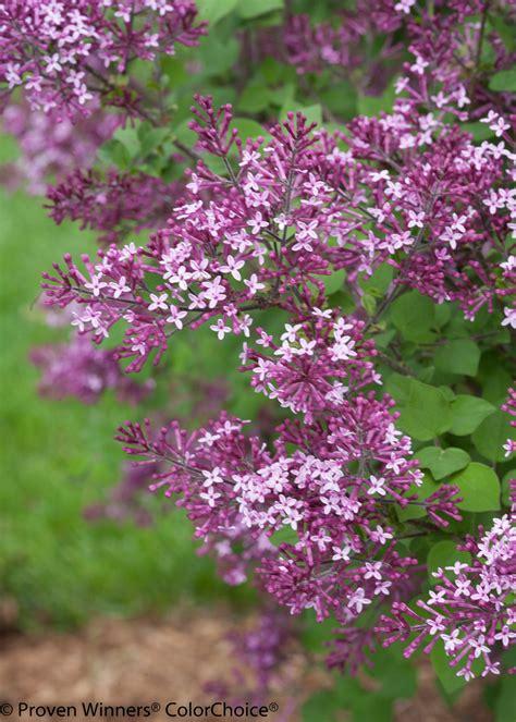 purple lilac bloomerang 174 dark purple reblooming lilac syringa