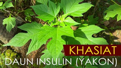 Teh Daun Yakon khasiat daun insulin yakon