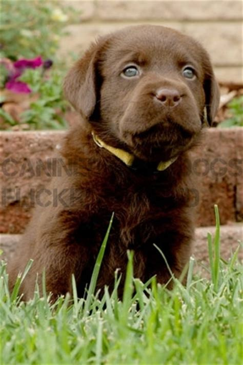 chocolate lab puppies michigan pin chocolate lab puppies for sale in michigan on