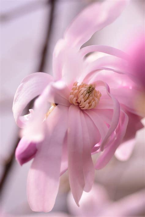 sternmagnolie kaufen rosa sternmagnolie magnolia stellata rosea g 252 nstig