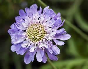 Flowers For Cottage Garden - garden flowers scabiosa caucasica also known as the pincushion flower flowerona