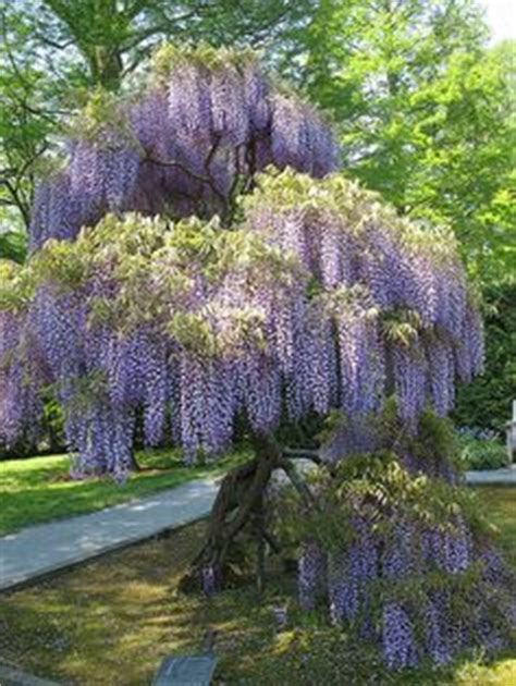 wisteria i love this plant especially the smell be