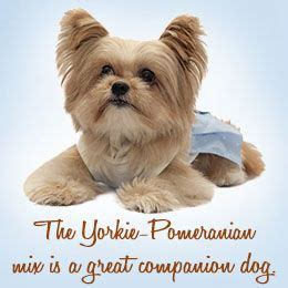 pomeranian yorkie mix price 1000 ideas about pomeranian mix on pomsky puppies price pomeranian puppy