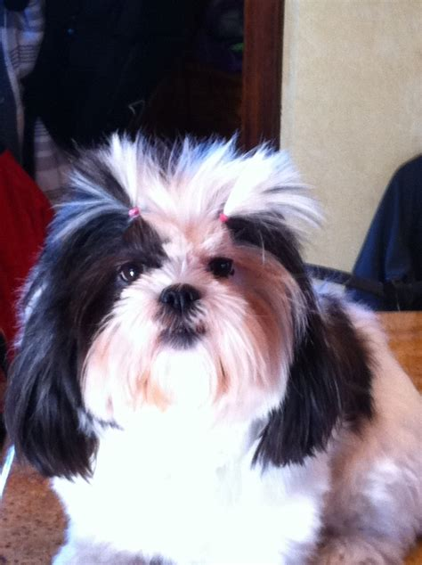 haircuts for shih tzus males best haircuts for shih tzus dog breeds picture