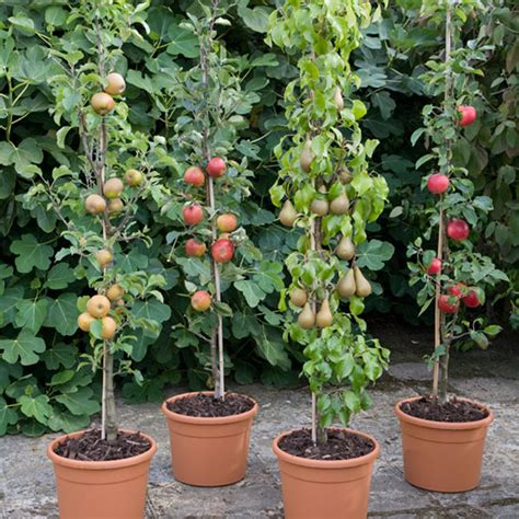 Patio Fruit Plants by Pomona Fruits Buy Fruit Trees Soft Fruit Bushes