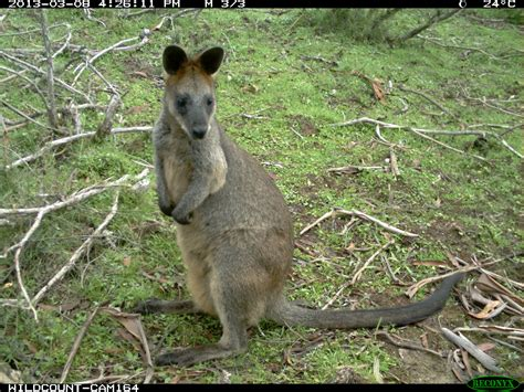 wheres wallaby  call   wildlife spotters