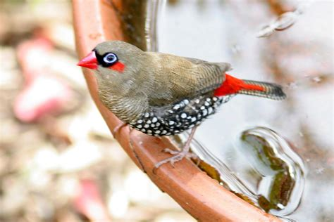 dead birds for sale for taxidermy eared waxbill buy dead birds for taxidermy